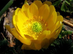 Лечебная трава Адонис весенний – применение, отзывы