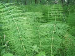 Особенно эффективен настой хвоща полевого который следует употреблять внутрь чай